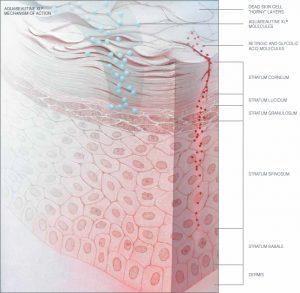 Aquabeautine XL mechanism of action (skin derma schem)