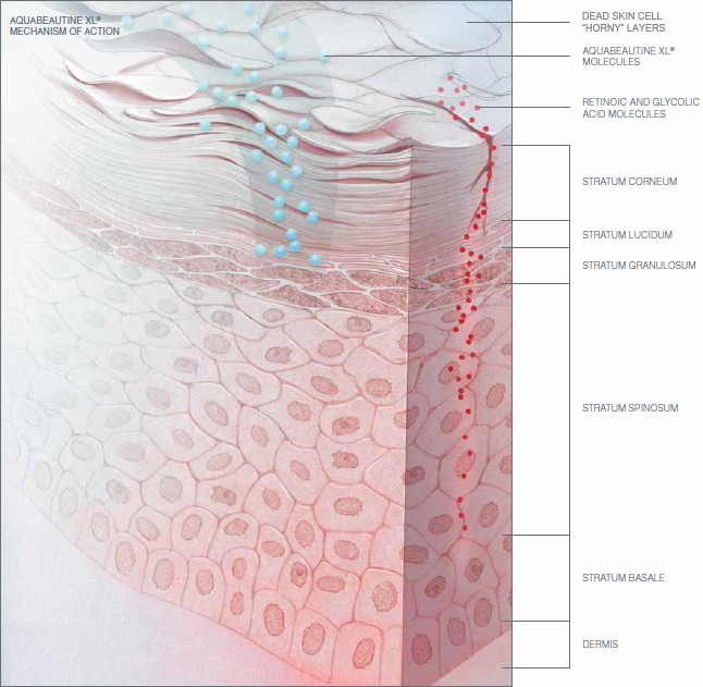 Aquabeautine XL mechanism of action (skin derma schem)